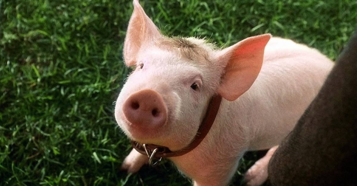 Babe. What a Pig Taught Me about the Secret to Success