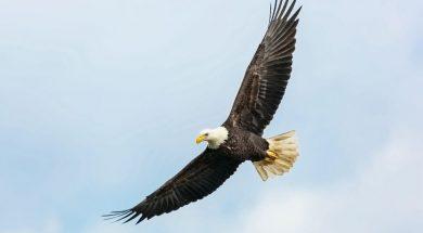 soaring-eagle-mathew-schwartz-unsplash.jpg